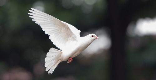 Doves of Love Release